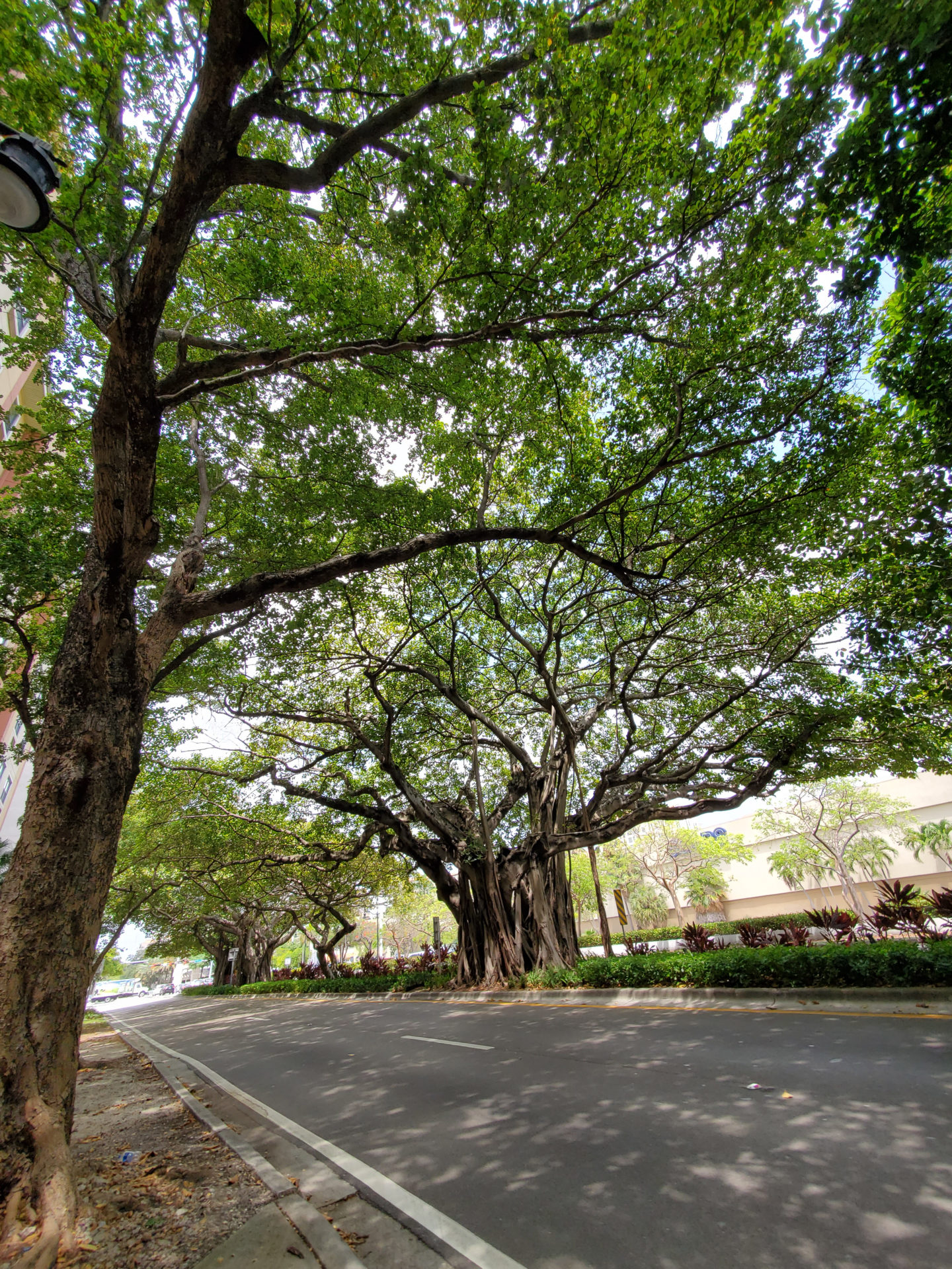 Giant Tress in Coral Gables.